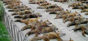 Segundo ADEGA a Fiscalía recoñece o dereito a presentar contenciosos pero non paraliza a masacre de raposos