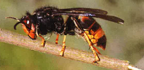 Viveiro renova a súa participación no programa galego de control da vespa velutina