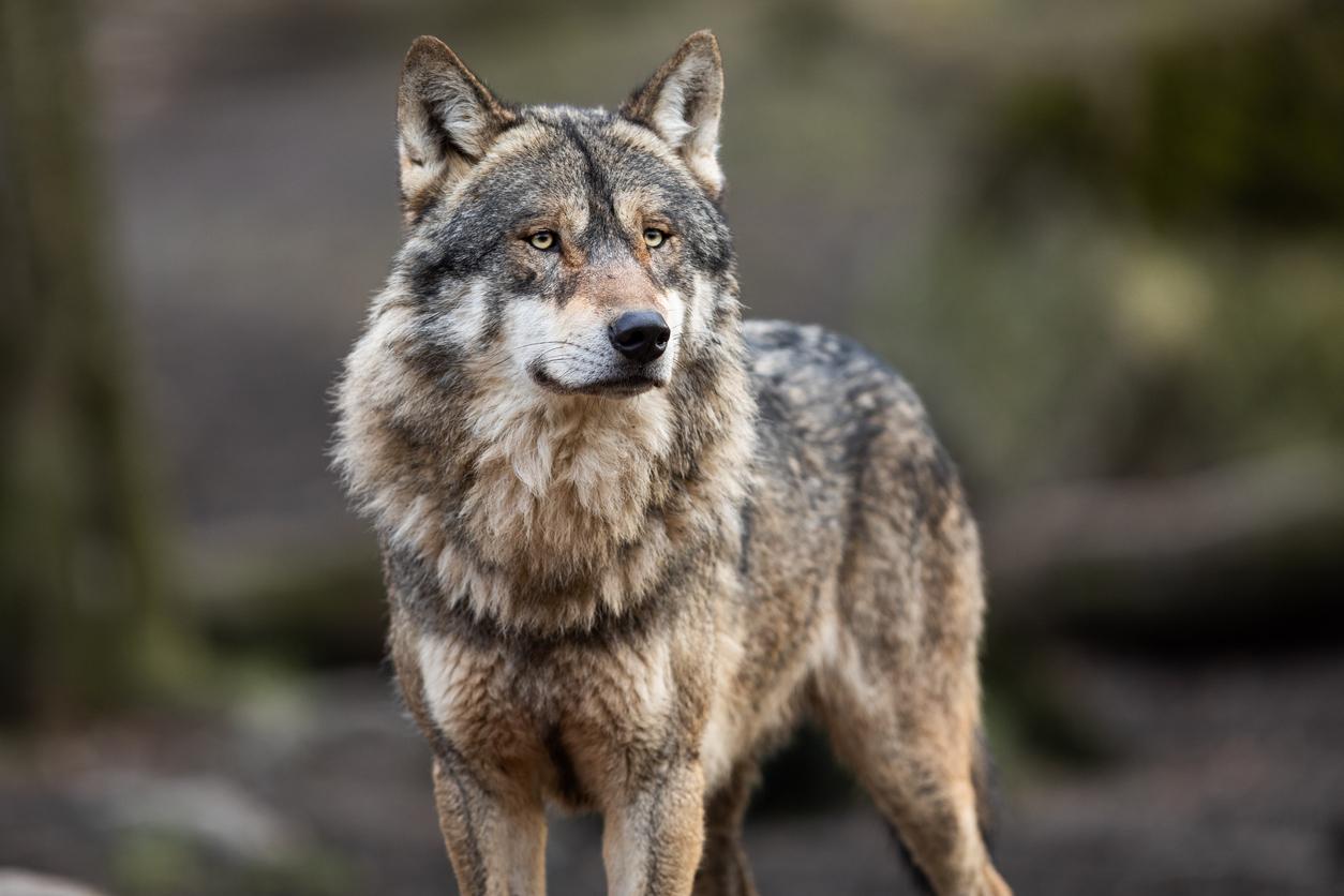 A Alcaldesa de Viveiro solicita unha reunión coa Conselleira de Medio Ambiente para arranxar a problemática do lobo no municipio