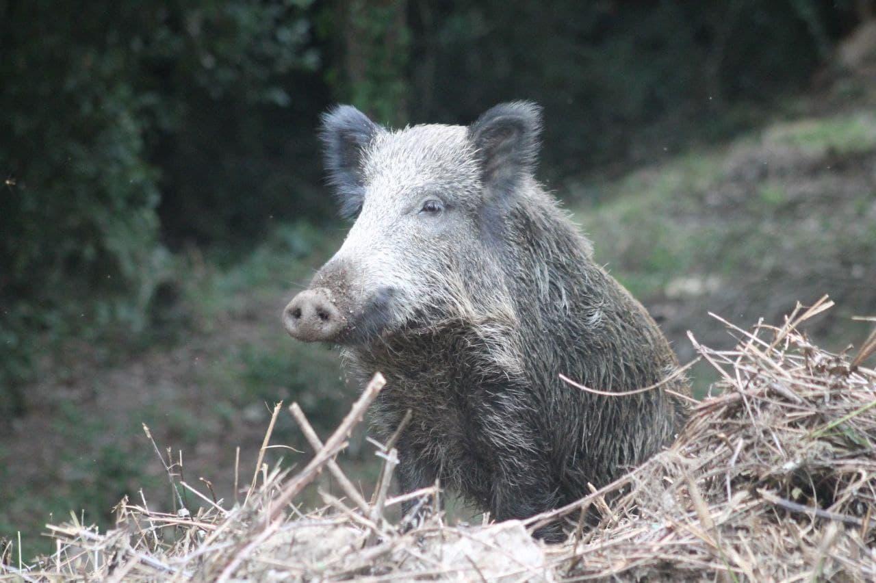 Denuncian que a Xunta pon en risco a seguridade cidadá coa liberación da caza do xabarín