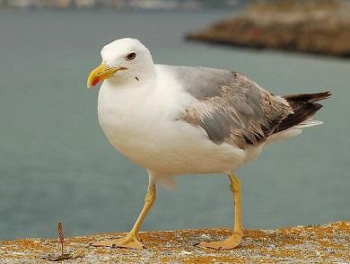 O Concello de Viveiro conclúe unha nova campaña de control da gaivota patiamarela e pon en marcha a da pomba común