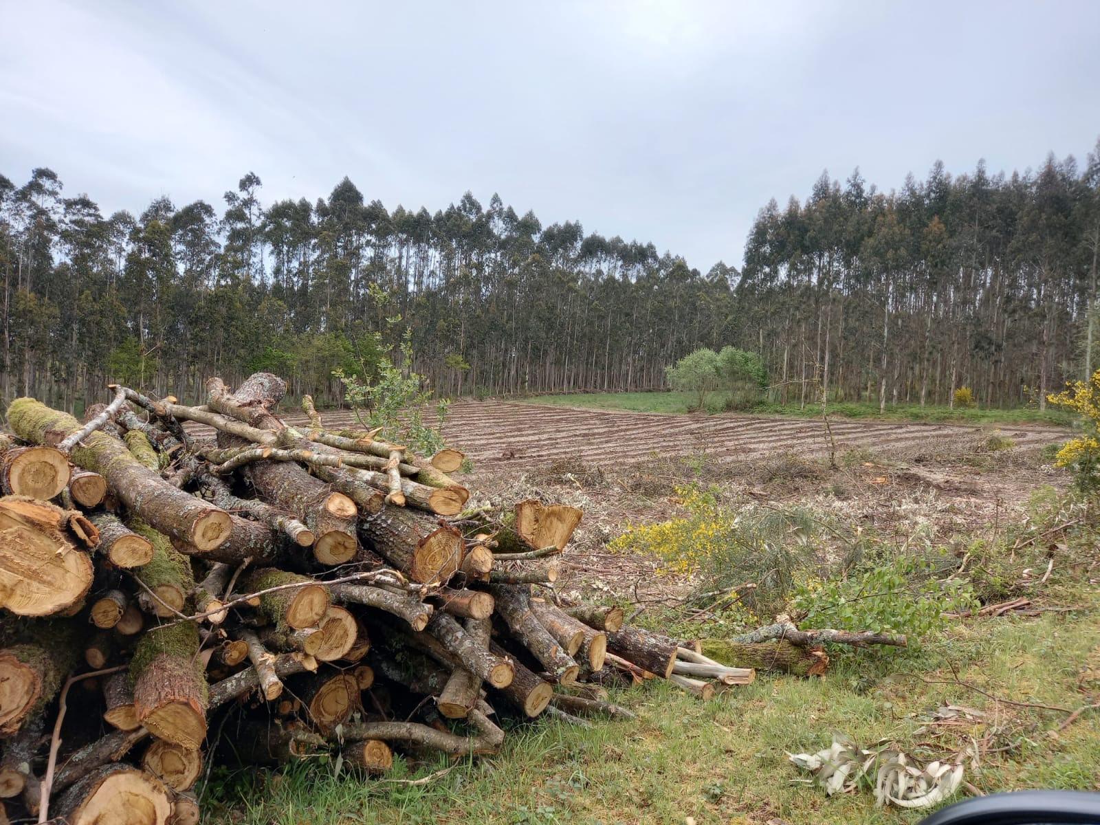 ADEGA denuncia a ocupación ilegal con eucalipto dunha superficie equivalente a uns 200 campos de fútbol desde a moratoria